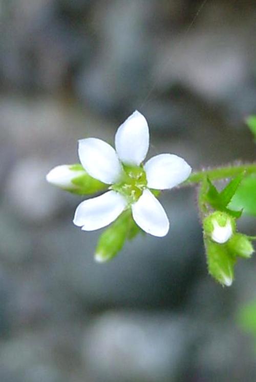 Boykinia occidentalis