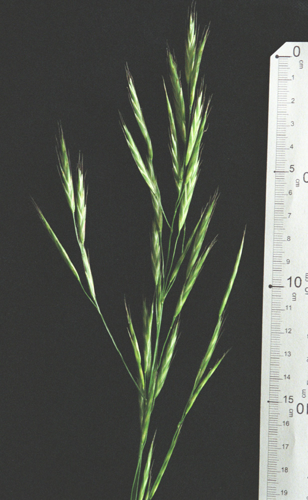 Bromus carinatus var. carinatus