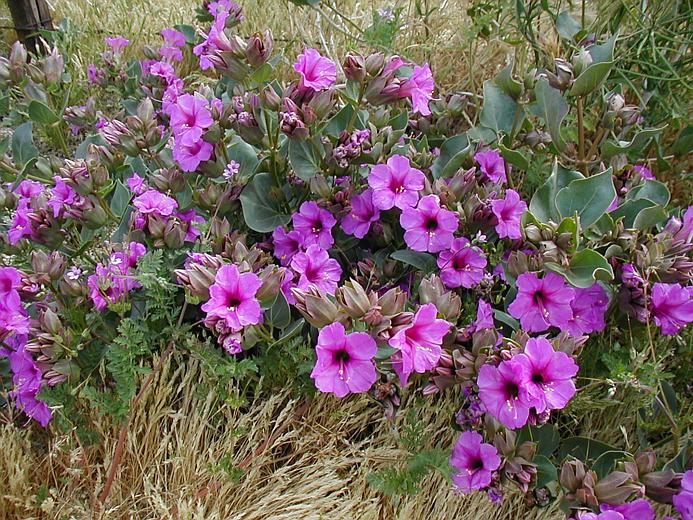 Wild Four O'clock | Mirabilis multiflora | High Country Gardens