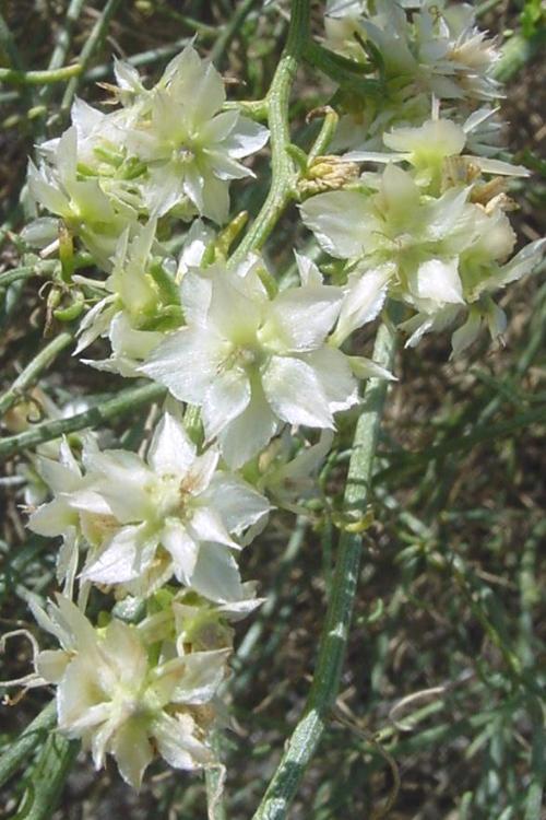 Ambrosia Xplatyspina