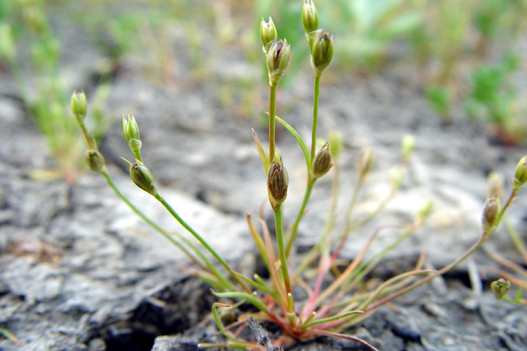 Juncus bufonius var. bufonius