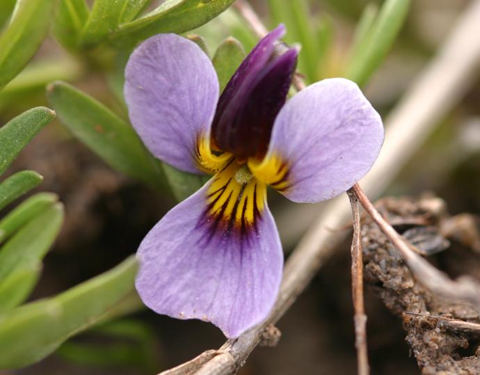 Viola beckwithii