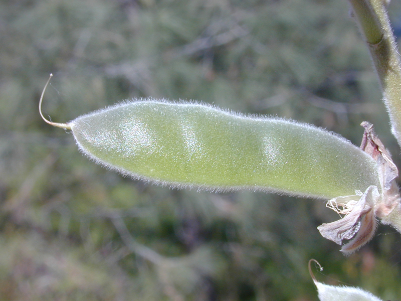 Lupinus albifrons