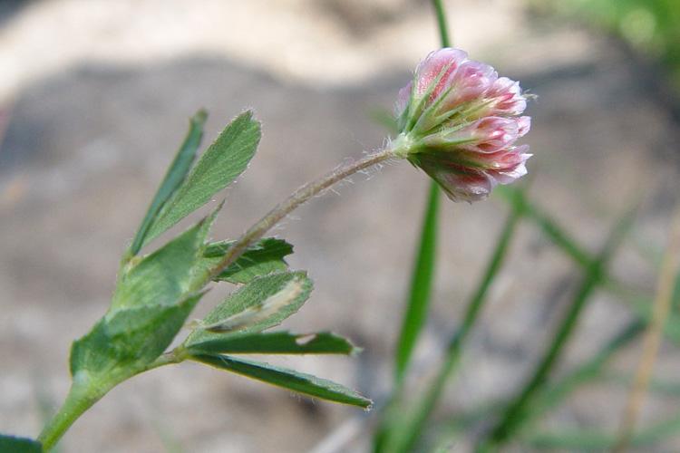 Trifolium bifidum var. decipiens