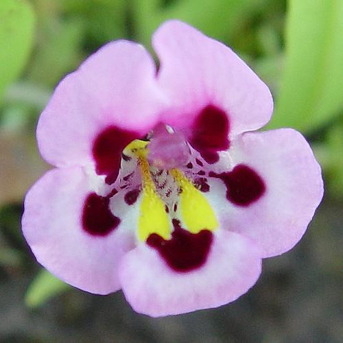Diplacus tricolor