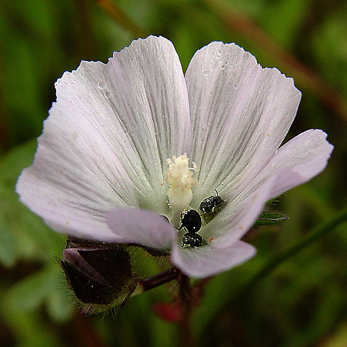 Sidalcea calycosa ssp. calycosa