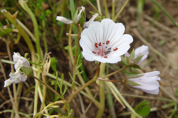 Limnanthes douglasii ssp. rosea