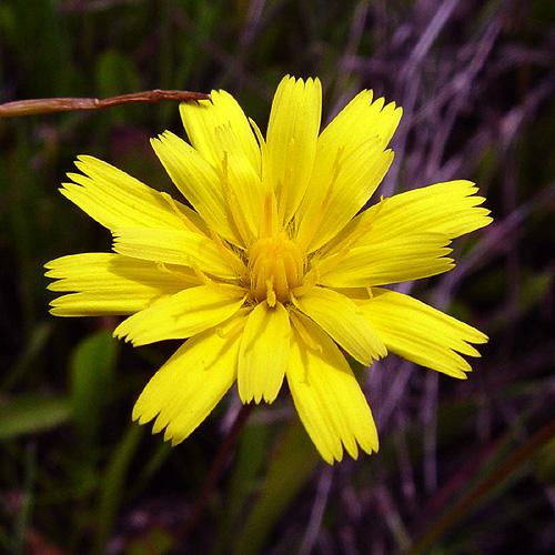 Leontodon taraxacoides