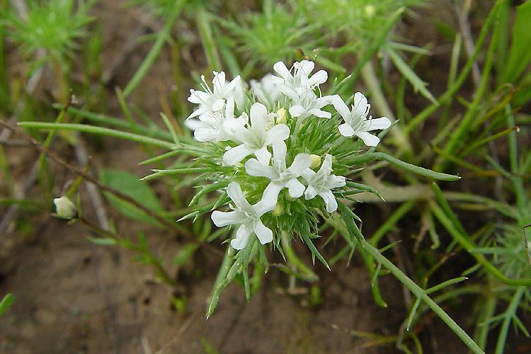 Navarretia leucocephala