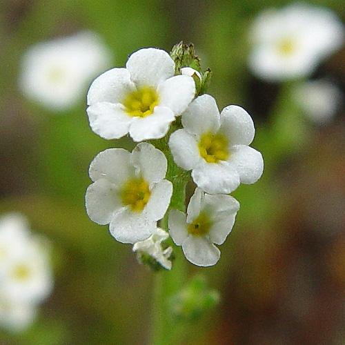 Plagiobothrys stipitatus var. micranthus