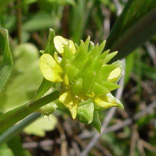 Ranunculus muricatus