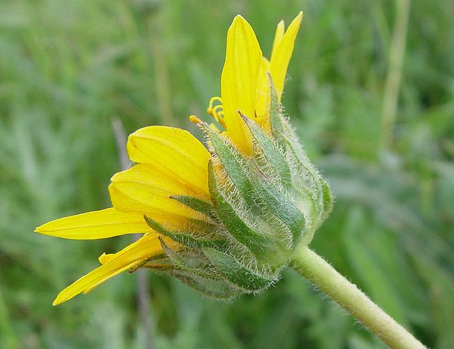 Wyethia angustifolia