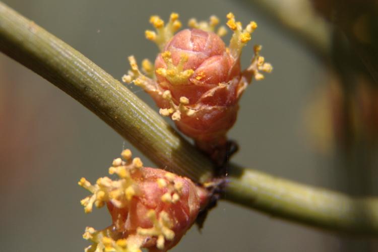 Ephedraceae image
