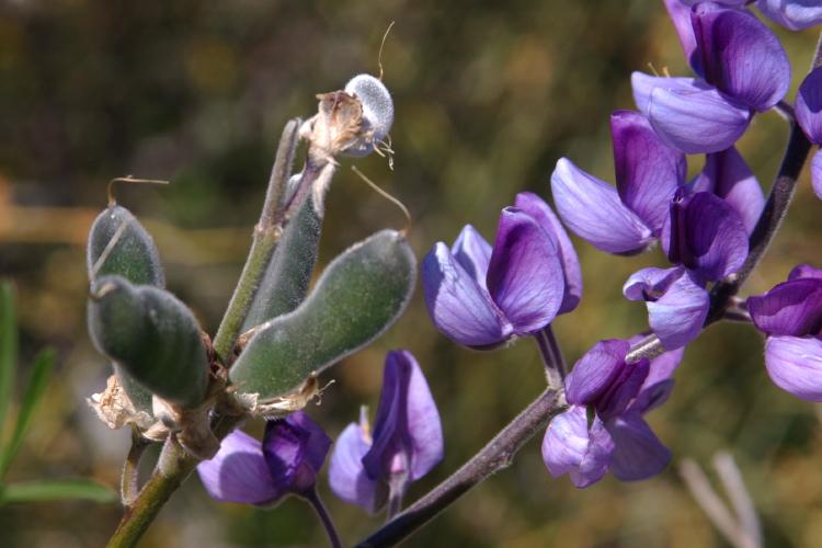 Lupinus longifolius