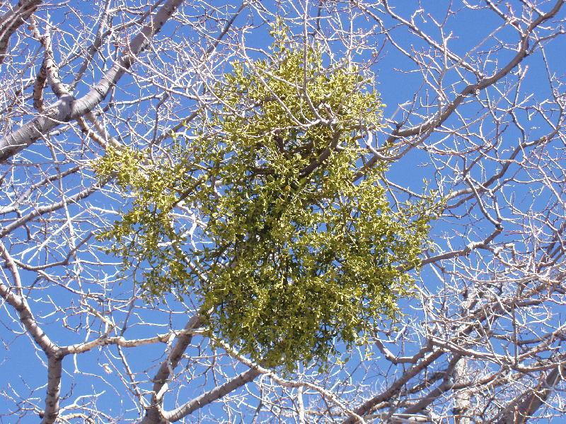 Phoradendron leucarpum ssp. tomentosum