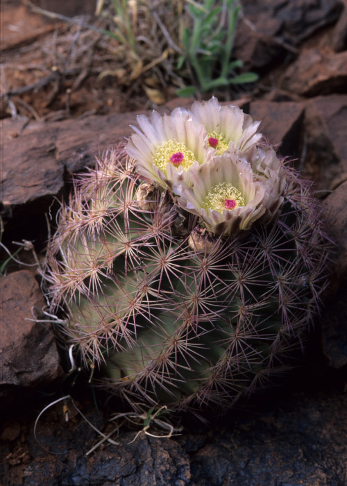 Sclerocactus image