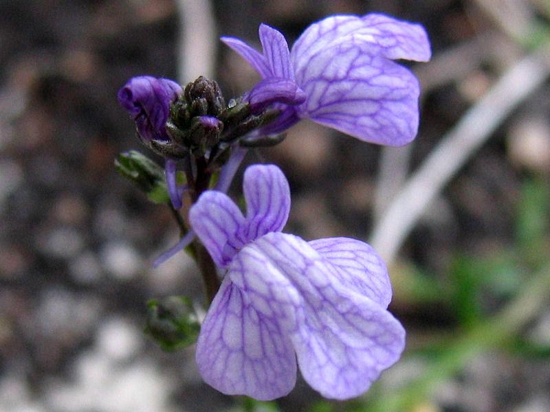 Nuttallanthus texanus