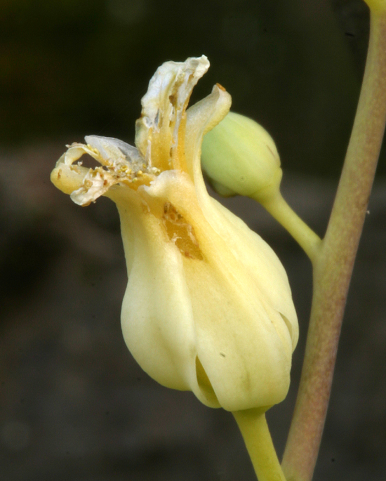 Streptanthus tortuosus