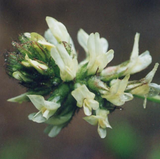 Astragalus agnicidus