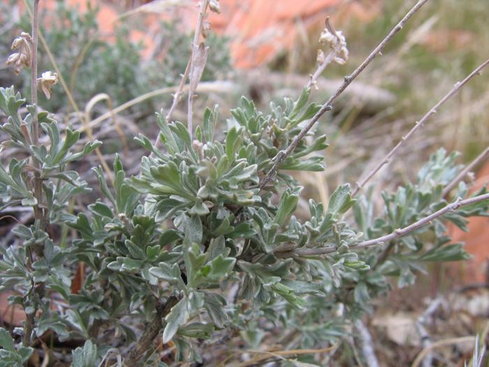 Artemisia bigelovii