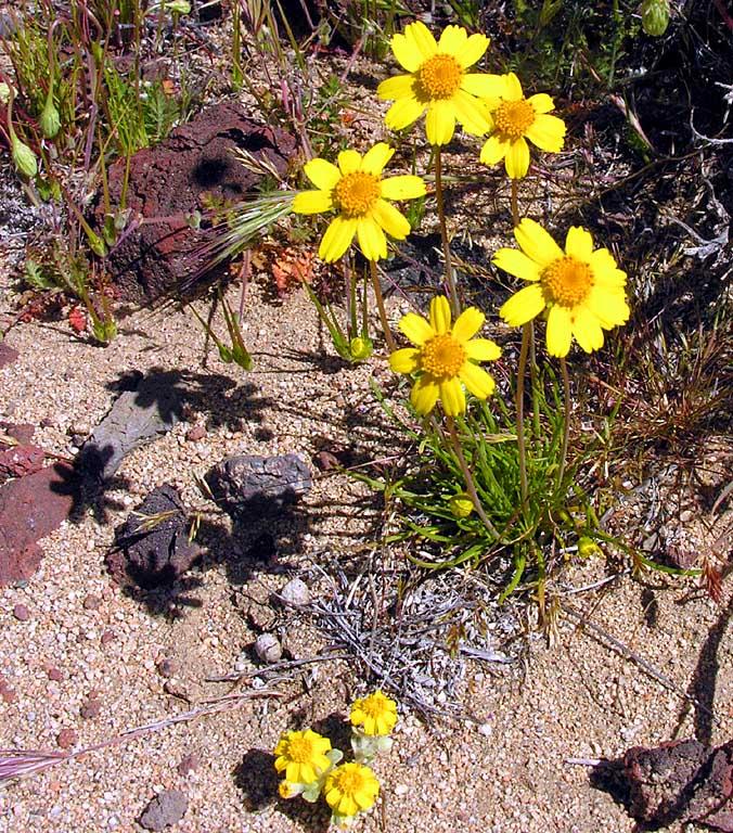 Leptosyne californica