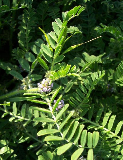 Astragalus sesameus image