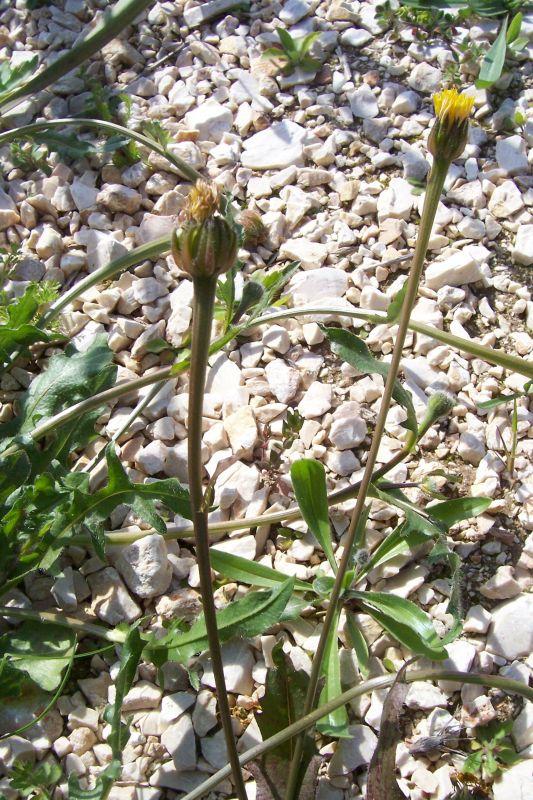 Hedypnois rhagadioloides