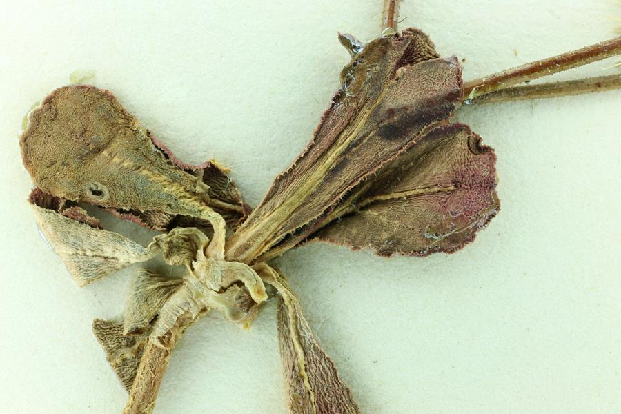 Acanthoscyphus parishii var. abramsii