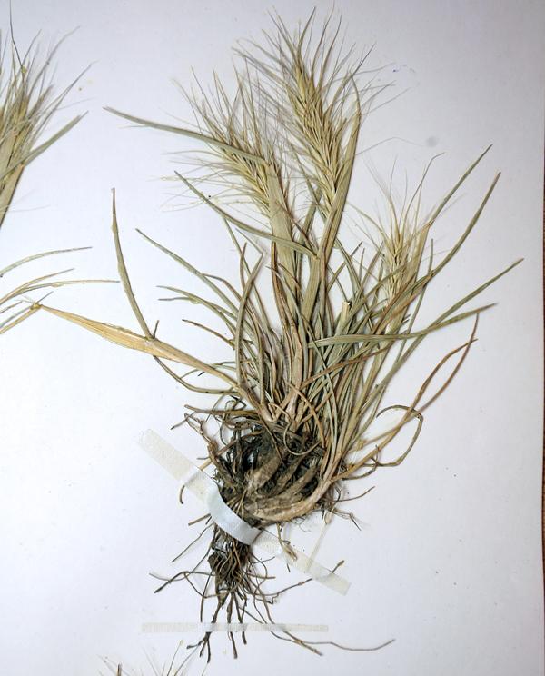 Elymus elymoides ssp. hordeoides