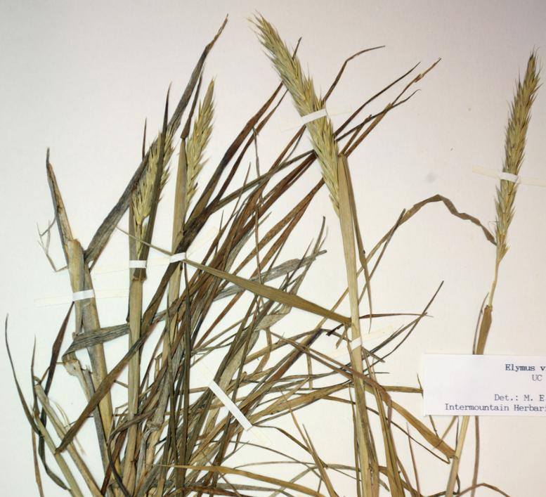 Elymus glaucus ssp. virescens