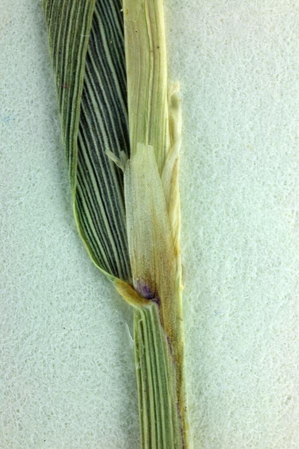 Calamagrostis stricta ssp. stricta