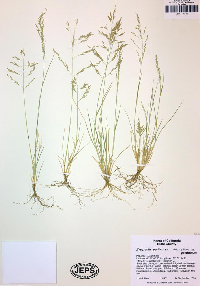 Eragrostis pectinacea var. pectinacea