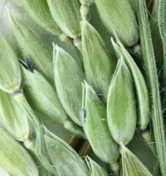 Eriochloa acuminata