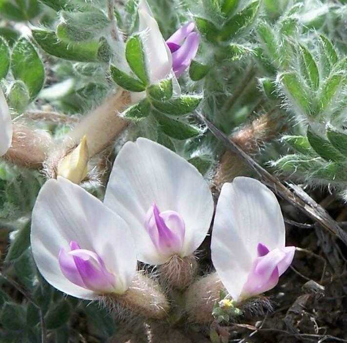Astragalus purshii var. purshii