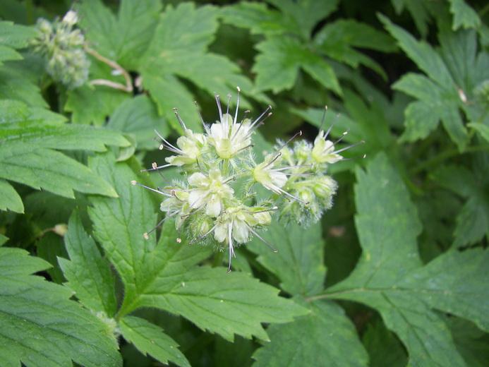 Hydrophyllum tenuipes
