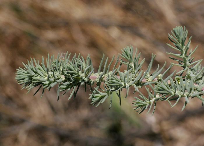 Suaeda taxifolia