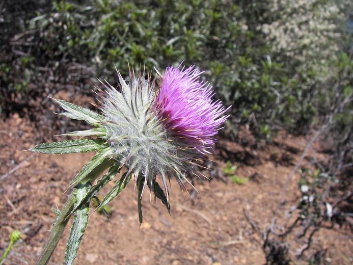Cirsium occidentale var. californicum