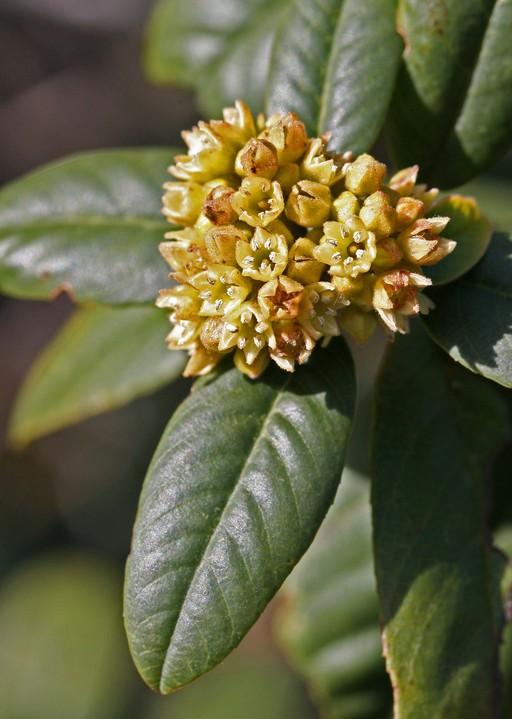Rhamnus californica ssp. californica