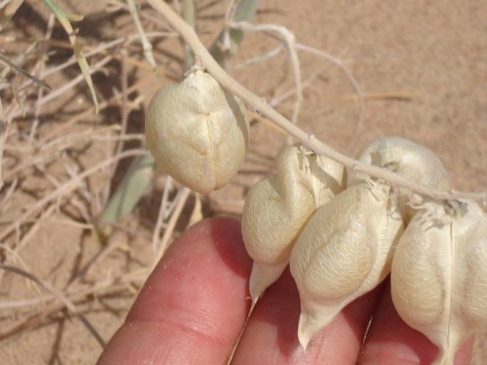 Astragalus magdalenae var. peirsonii