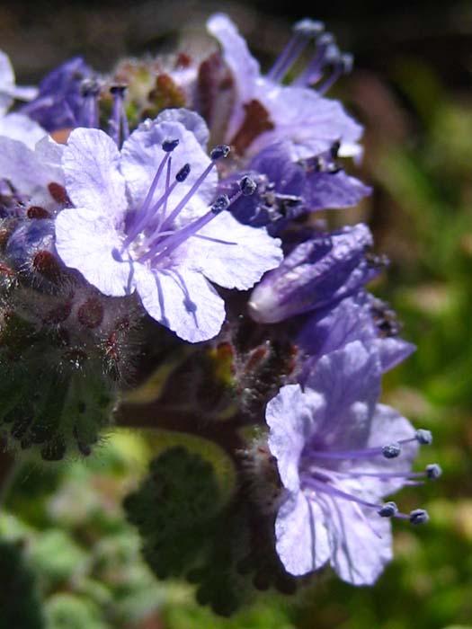 Phacelia floribunda