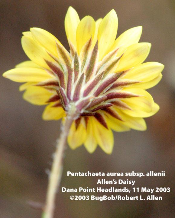 Pentachaeta aurea ssp. allenii