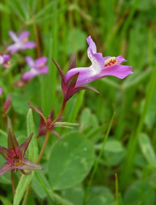 Collinsia sparsiflora var. sparsiflora