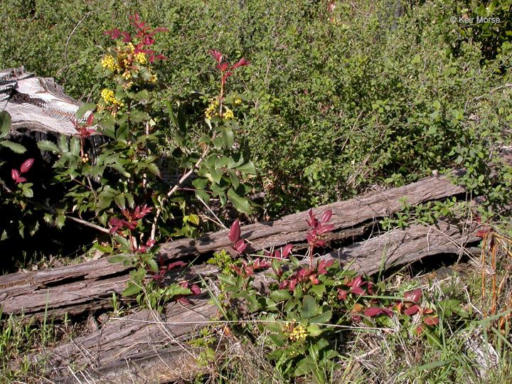 Berberis aquifolium var. aquifolium