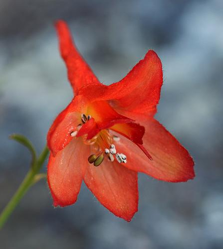 Delphinium nudicaule