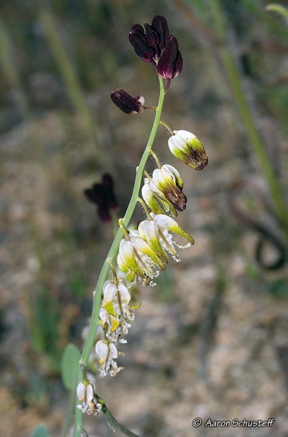 Caulanthus californicus