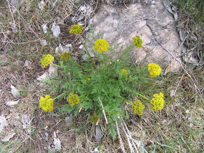 Lomatium grayi