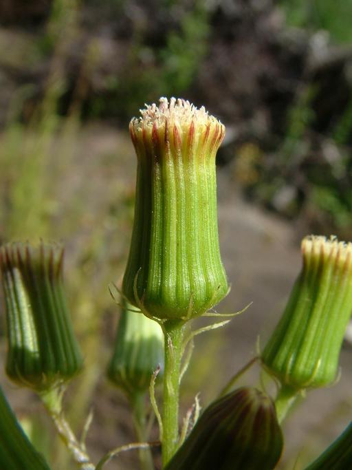 Erechtites hieraciifolia