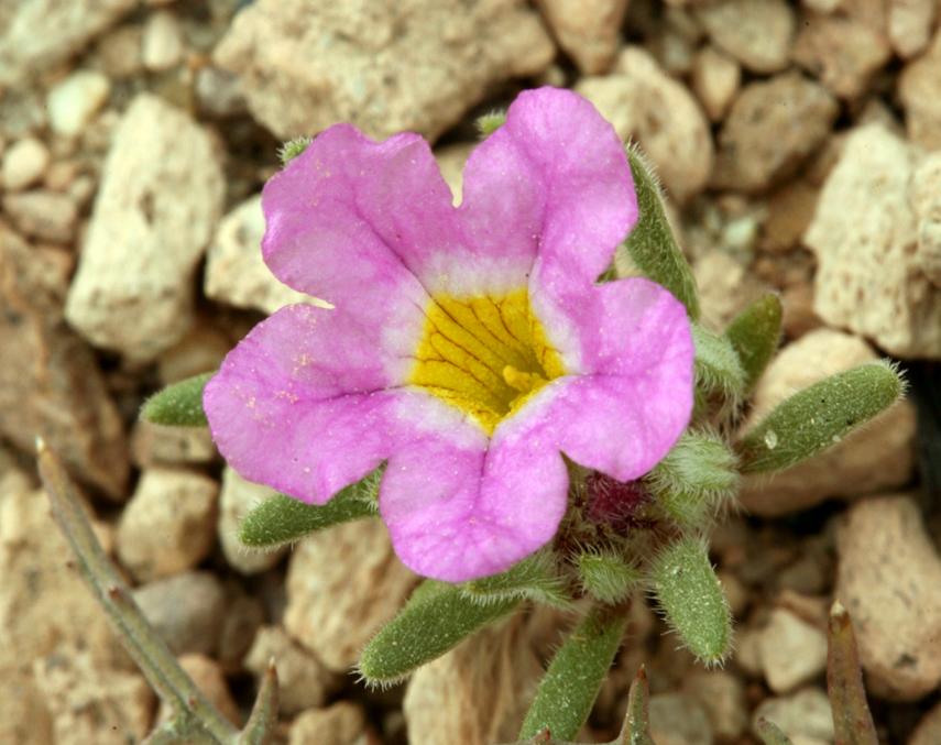 Nama aretioides var. multiflorum