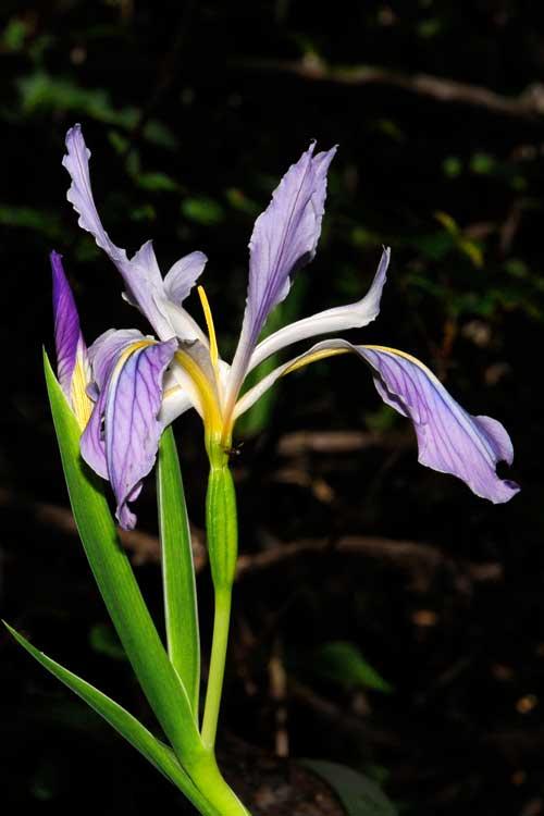 Iris munzii