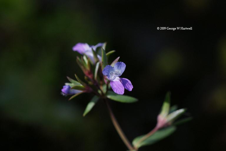 Collinsia sparsiflora var. bruceae